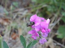 Abeja en la flor que recolecta la comida Imagen de archivo libre de regalías