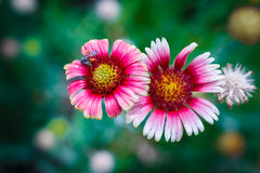 Abeja en la flor, recogiendo el néctar Fotos de archivo libres de regalías