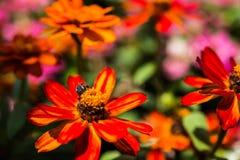 Abeja en la flor roja Imagenes de archivo