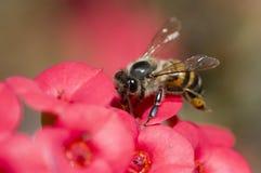 Abeja en la flor roja Imágenes de archivo libres de regalías