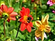 Abeja en la flor roja Fotos de archivo