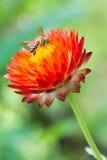 Abeja en la flor roja Imagen de archivo libre de regalías