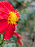 Abeja en la flor roja Fotografía de archivo