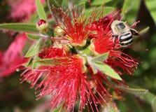 Abeja en la flor roja Fotografía de archivo libre de regalías