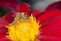 Abeja en la flor roja de la dalia Imagen de archivo