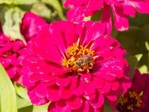Abeja en la flor roja de la Juventud-y-edad, elegans del Zinnia, macro, foco selectivo, DOF bajo Fotografía de archivo libre de regalías