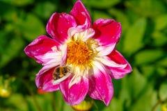 Abeja en la flor roja de la peonía Fotografía de archivo