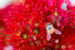 Abeja en la flor roja de Pohutukawa, macro cercana para arriba con profundidad baja Imagen de archivo