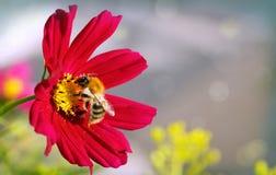 Abeja en la flor roja del cosmos Fotografía de archivo libre de regalías