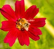 Abeja en la flor roja del cosmos Imagenes de archivo