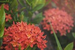 Abeja en la flor roja del punto Flora del stricta del Rubiaceae de Ixora Fotografía de archivo libre de regalías