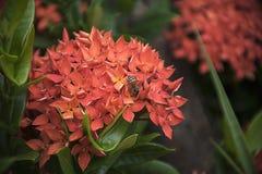 Abeja en la flor roja del punto Flora del stricta del Rubiaceae de Ixora Fotos de archivo libres de regalías