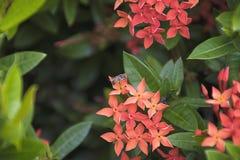 Abeja en la flor roja del punto Flora del stricta del Rubiaceae de Ixora Imagen de archivo