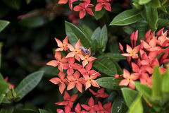 Abeja en la flor roja del punto Flora del stricta del Rubiaceae de Ixora Foto de archivo