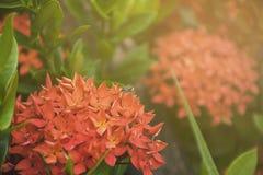Abeja en la flor roja del punto Flora del stricta del Rubiaceae de Ixora en Thaila Fotos de archivo libres de regalías