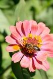 Abeja en la flor roja en la macro del primer del jardín Fotos de archivo