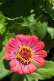 Abeja en la flor roja en la macro del primer del jardín Imagenes de archivo