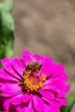 Abeja en la flor roja en la macro del primer del jardín Fotografía de archivo
