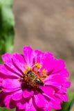 Abeja en la flor roja en la macro del primer del jardín Fotografía de archivo libre de regalías