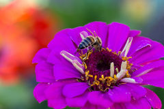 Abeja en la flor roja en la macro del primer del jardín Imágenes de archivo libres de regalías
