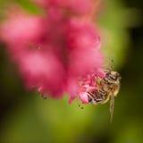 Abeja en la flor roja o rosada del persicaria Fotos de archivo libres de regalías