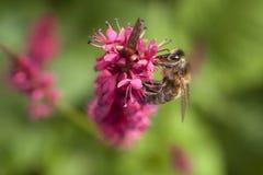 Abeja en la flor roja o rosada del persicaria Imagen de archivo