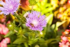 Abeja en la flor rosada Foto de archivo