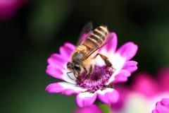 Abeja en la flor rosada Fotografía de archivo