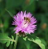 Abeja en la flor rosada Fotos de archivo libres de regalías