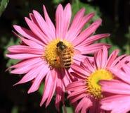 Abeja en la flor rosada Imágenes de archivo libres de regalías