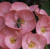 Abeja en la flor rosada Imagenes de archivo