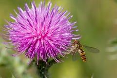Abeja en la flor rosada Imagen de archivo libre de regalías