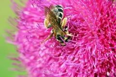 Abeja en la flor rosada Fotos de archivo