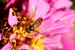 Abeja en la flor rosada Foto de archivo libre de regalías