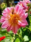 Abeja en la flor rosada de la dalia Fotografía de archivo libre de regalías