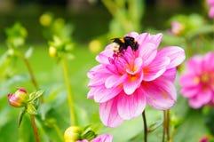 Abeja en la flor rosada de la dalia Fotos de archivo