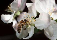 Abeja en la flor rosada de la manzana Imagen de archivo libre de regalías