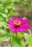Abeja en la flor rosada de la paja Imagen de archivo libre de regalías