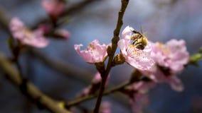 Abeja en la flor rosada de Sakura Imagen de archivo libre de regalías