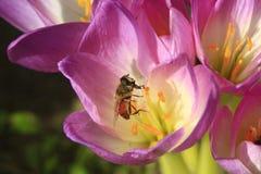 Abeja en la flor rosada del autumnale del colchicum Foto de archivo libre de regalías