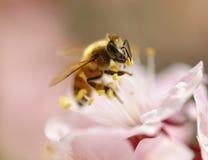 Abeja en la flor rosada del cerezo Imágenes de archivo libres de regalías