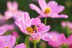 Abeja en la flor rosada del cosmos Fotos de archivo