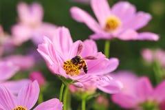 Abeja en la flor rosada del cosmos Imagen de archivo libre de regalías