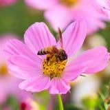 Abeja en la flor rosada del cosmos Foto de archivo