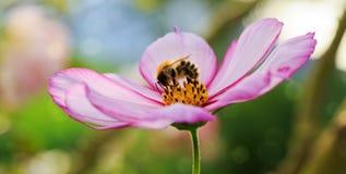 Abeja en la flor rosada del cosmos Imágenes de archivo libres de regalías