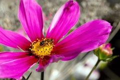 Abeja en la flor rosada del cosmos Imagenes de archivo