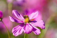 Abeja en la flor rosada del cosmos que florece en el campo Imagen de archivo