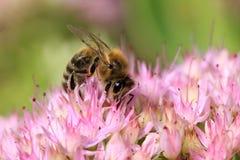 Abeja en la flor rosada en la naturaleza verde Imagenes de archivo