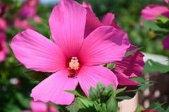 Abeja en la flor rosada grande Foto de archivo libre de regalías
