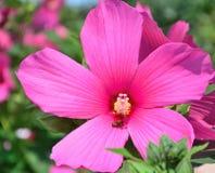 Abeja en la flor rosada grande Fotos de archivo libres de regalías